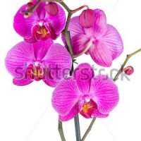 stock-photo-pink-streaked-orchid-flower-isolated-393212563
